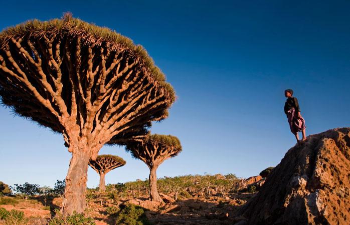 Un tânăr locuitor al insulei Socotra opune privirii câteva exemplare din copacul endemic cunoscut drept Sângele Dragonului