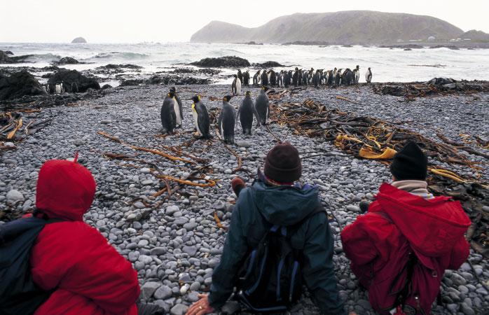 La o șuetă de dimineață cu prietenii noștri... pinguinii regali