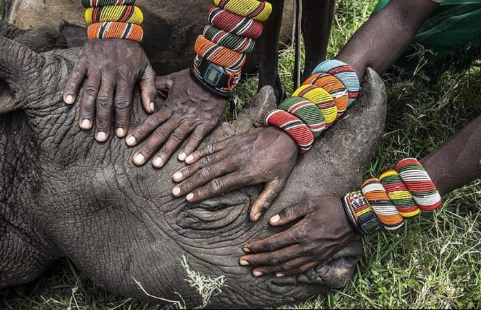 Războinicii Samburu, atingând, pentru prima dată în viața lor, un pui de rinocer, în centrul Lew Wildlife Conservancy din nordul Kenyei