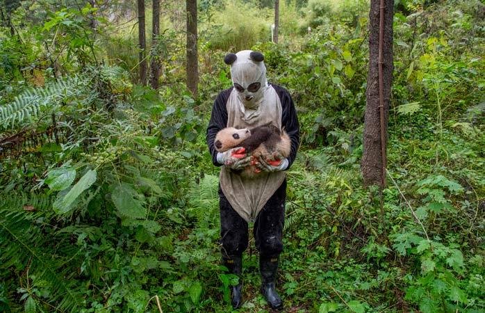 Centrul Wolong Panda, China: urșii panda crescuți în activitate sunt antrenați pentru viața în sălbăticie, iar asta înseamnă un minim de contact uman. Toți îngrijitorii poartă costume care să-i facă să arate ca urșii panda