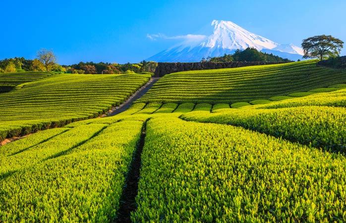 Muntele Fuji veghează etern peste câmpurile de ceai verde din Shizuoka
