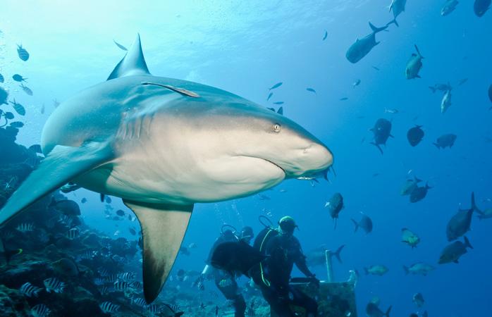 Dă-i fricii un capac pe după ceafă înotând pe lângă rechinii din Rezervația Shark Reef Marine