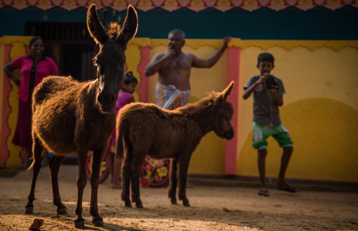Pe Insula Mannar, măgarii și oamenii trăiesc laolaltă în armonie