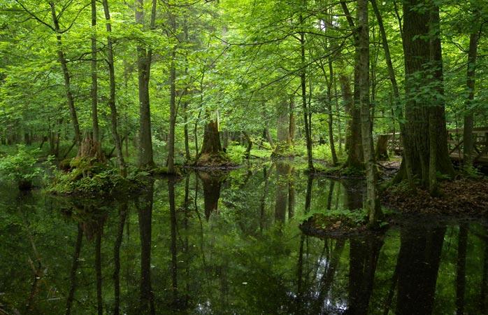 Serenă și liniștită ca o icoană este pădurea primară Białowieża, veșnică oază de pace