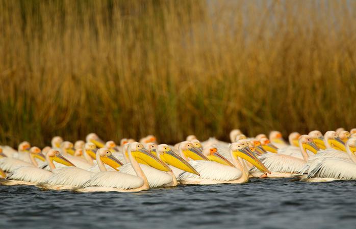 Armata de pelicani albi din Delta Dunării