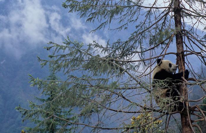 Ursul panda uriaș, una dintre cele mai îndrăgite creaturi ale Creatorului
