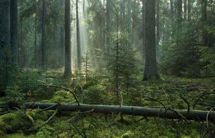 Oricât ar fi de greu de crezut, nu este Pădurea Interzisă din Harry Potter, ci Białowieża din Polonia