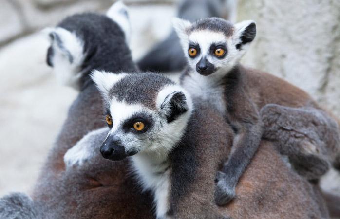 """Din categoria """"știați că"""": cel mai mic lemur din lume cântărește mai puțin decât o cutiuță cu stafide? Mai că-ți vine să-l strecori în bagaj și să-l iei acasă"""