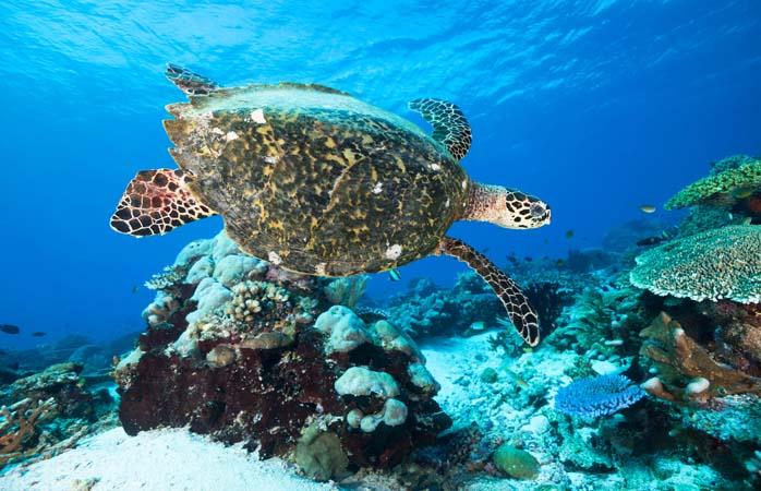 Broaștele țestoase Hawksbill au și ele tabieturile lor. Ce credeai?