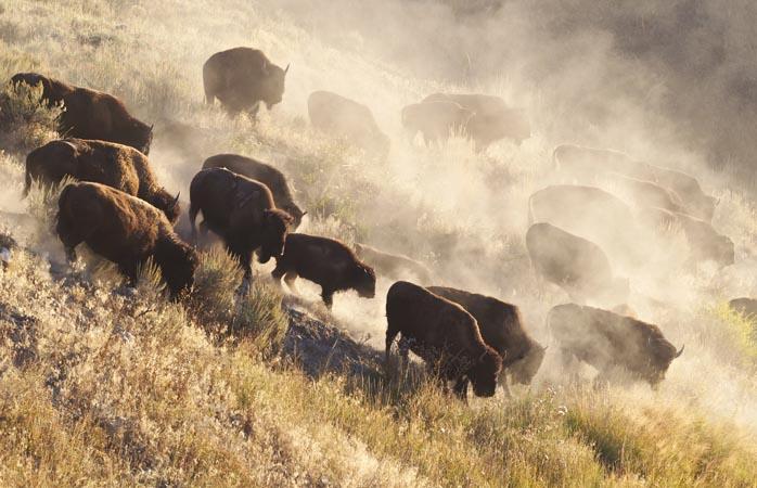 O oarecare ceată de bizoni din Parcul Național Yellowstone