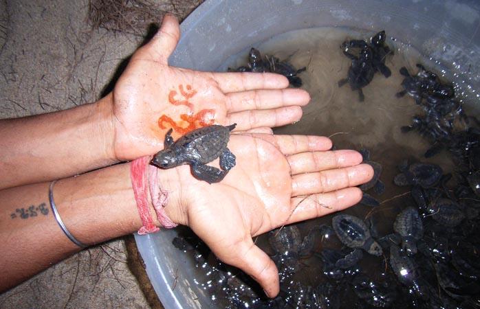 Salvând puii de broască țestoasă
